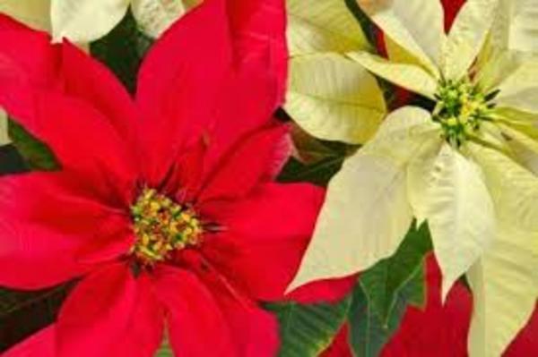 クリスマスのお花といえばポインセチア